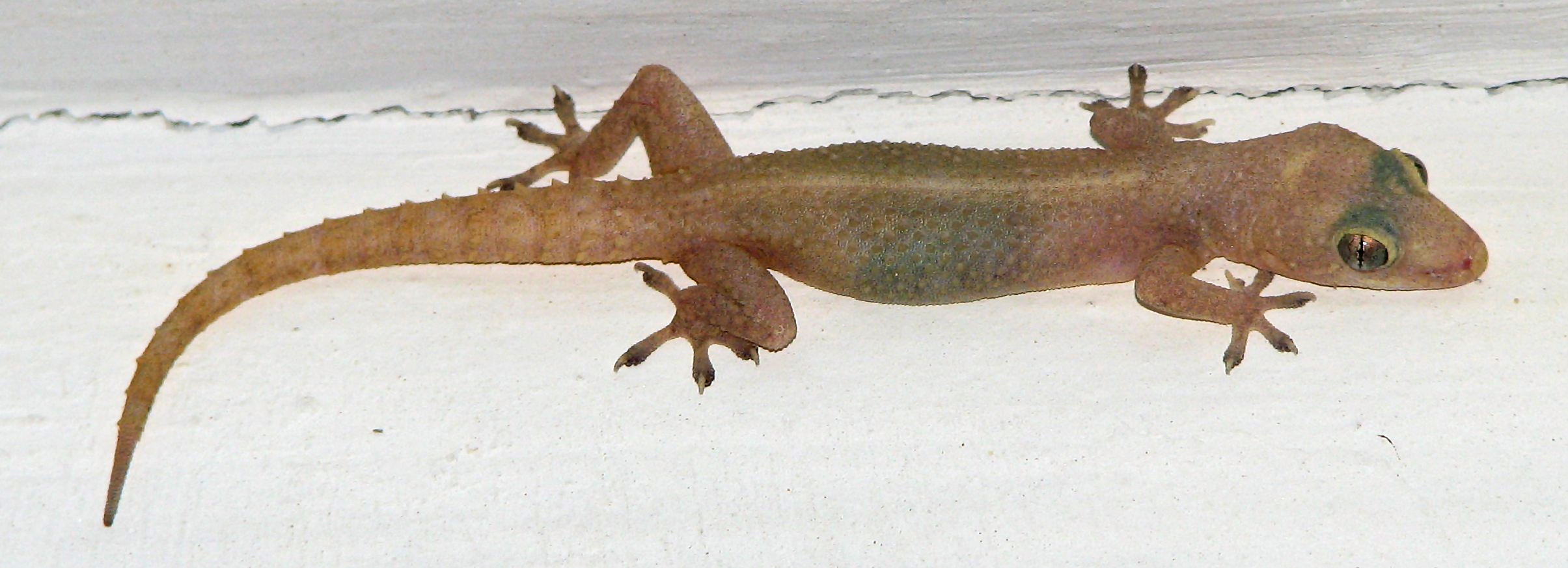 http://upload.wikimedia.org/wikipedia/commons/c/c0/Common_house_gecko.jpg