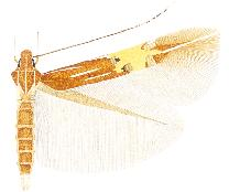 <i>Cosmopterix floridanella</i> species of insect