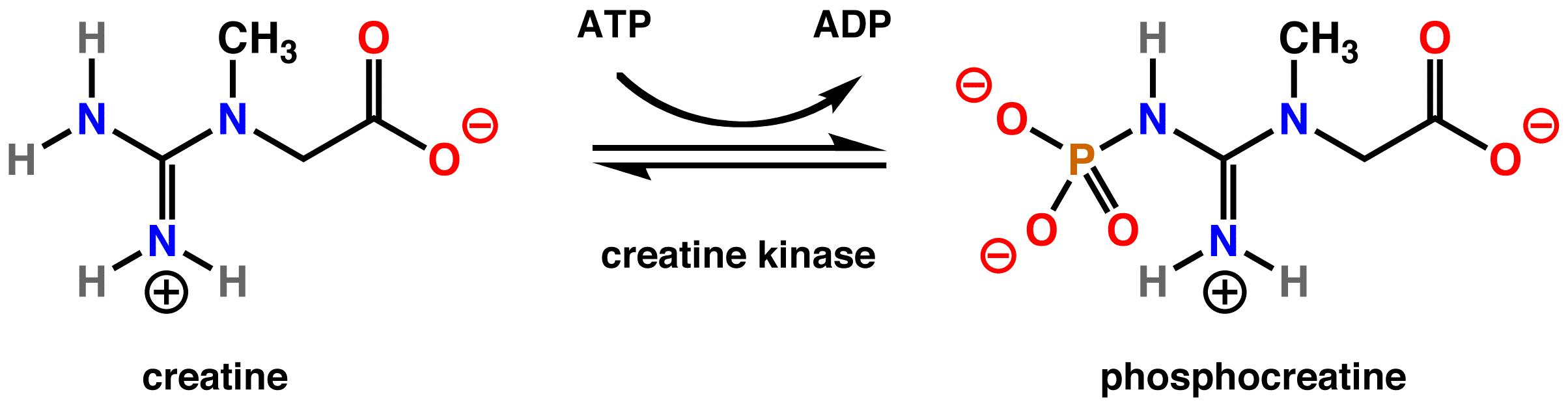 Creatine kinase 1100