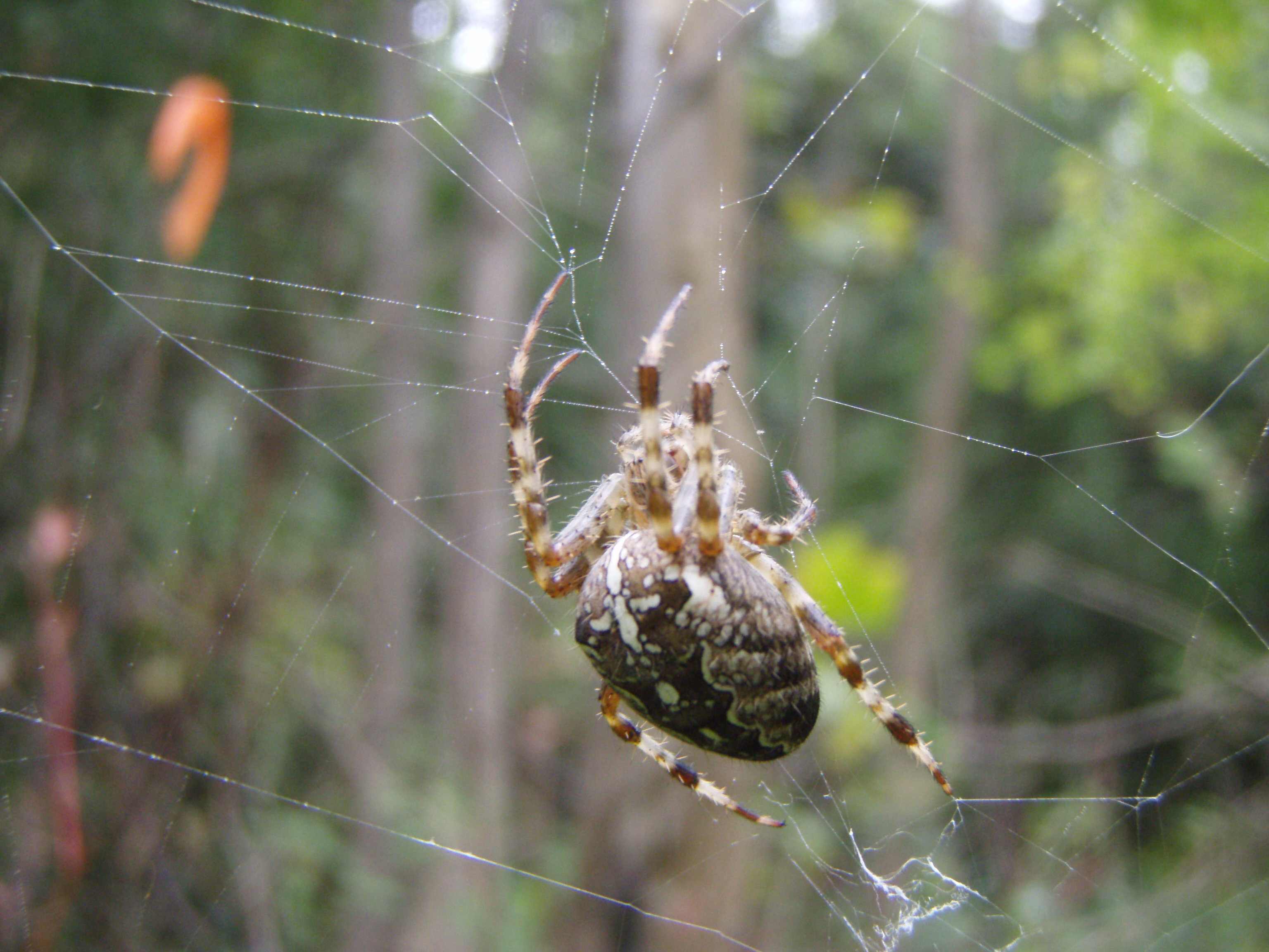 Image result for cross orb weaver