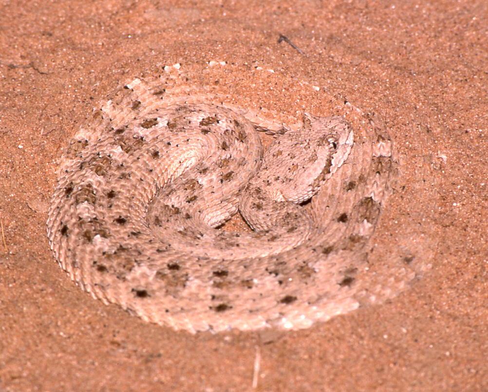 Resultado de imagem para Crotalus cerastes cercobombus