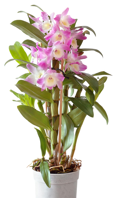 hoa phong lan vi t vietnam orchids dendrobium nobile lindley 1830 phi i p k p. Black Bedroom Furniture Sets. Home Design Ideas
