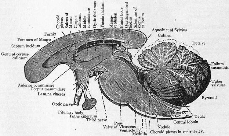 EB1911 Brain Fig. 6-Section through Corpus Callosum.jpg