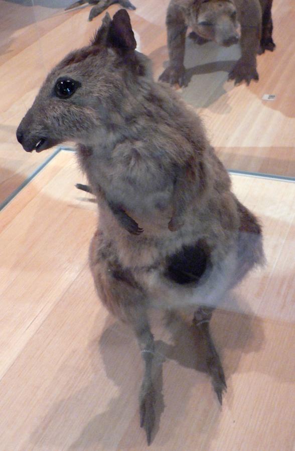 Файл:Eastern Hare-wallaby Pengo.jpg
