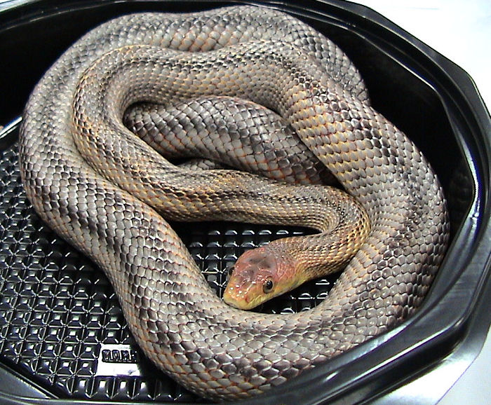 pantherophis bairdi wikidata. Black Bedroom Furniture Sets. Home Design Ideas