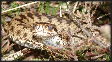 The European adder, which apparently detests ash trees.