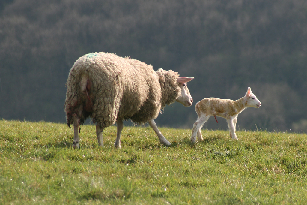 Ewe with her lamb at the top of a green hill