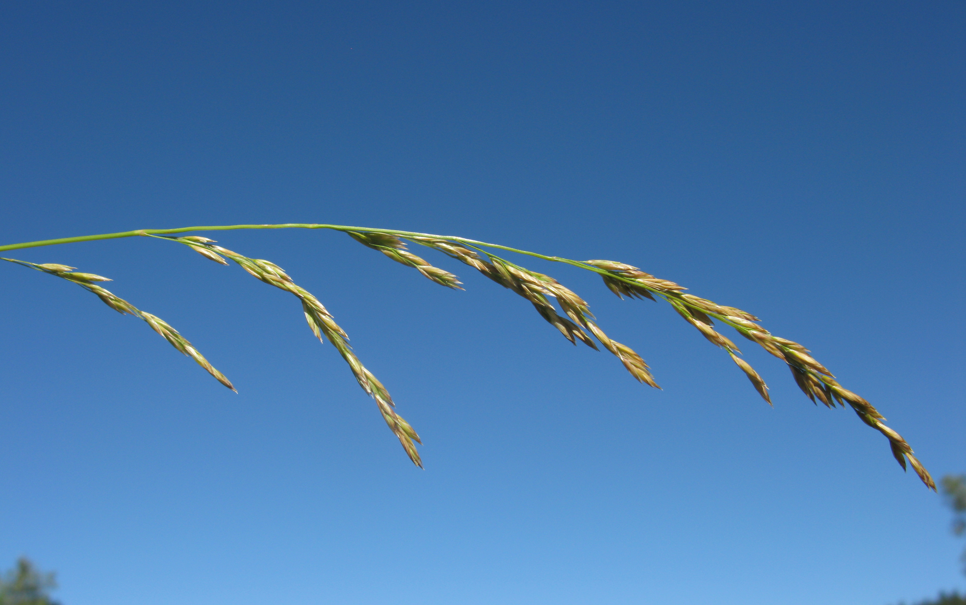 By Harry Rose from South West Rocks, Australia (Festuca arundinacea flowerhead6) [CC BY 2.0 (http://creativecommons.org/licenses/by/2.0)], via Wikimedia Commons