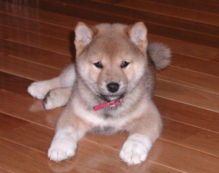 akita puppies