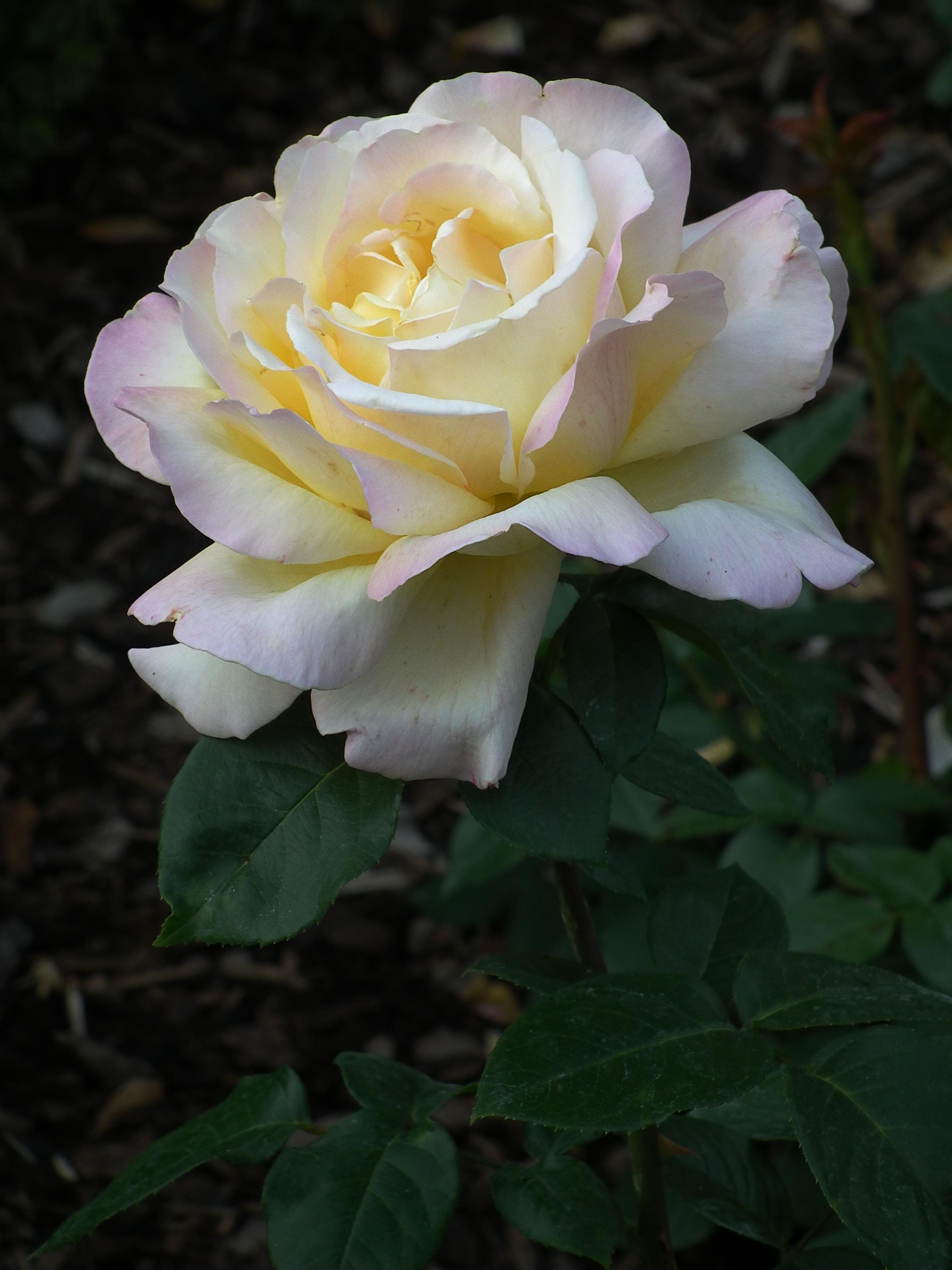 сорт розы мадам мейланд фото кнопки, установленные