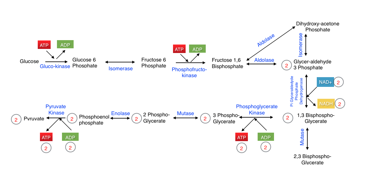 sequence of atp resynthesis In mitochondria, eubacteria and chloroplasts, the synthesis of atp is made by a complex molecular machine known as atp synthase we want to understand how this.