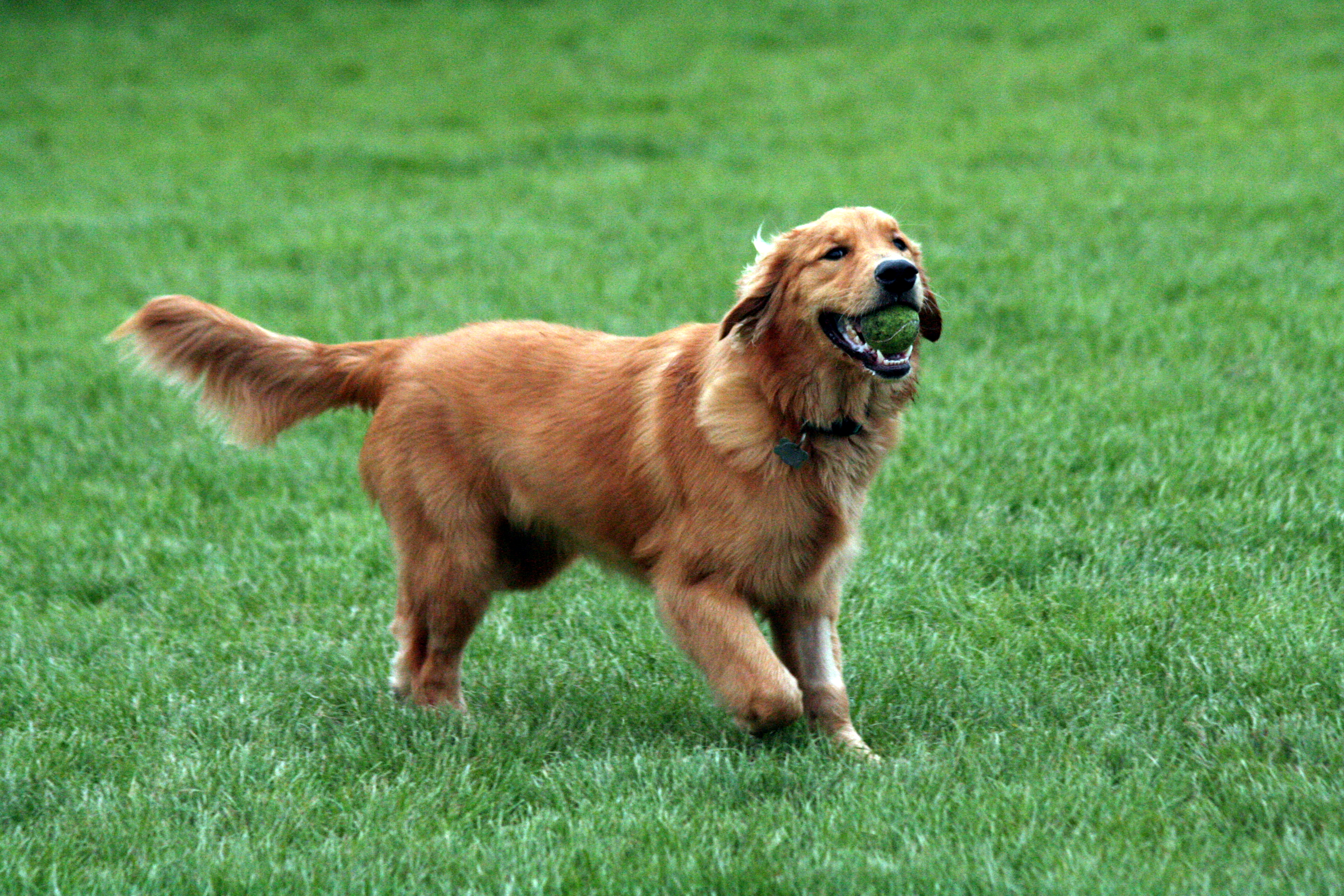 Golden retriever for hunting