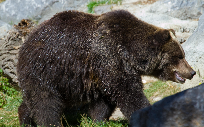 Bears Colors