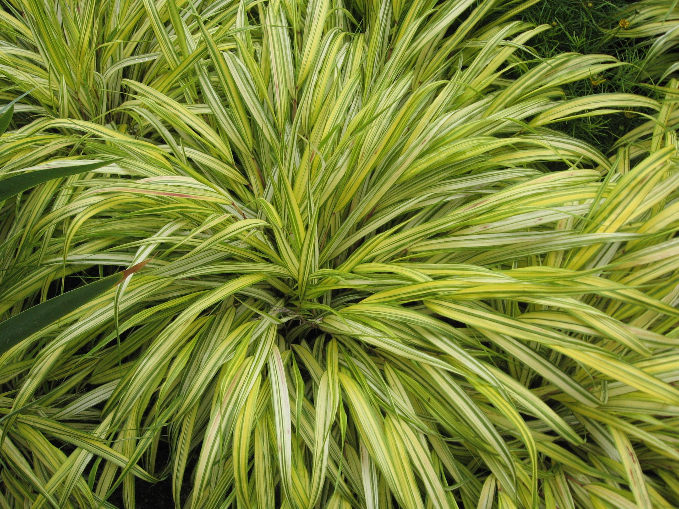 File hakonechloa macra 39 alboaurea 39 jpg wikimedia commons for Plante ombre exterieur