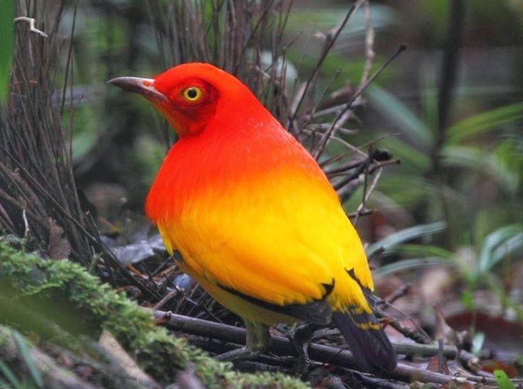 Flame bowerbird - Wikipedia