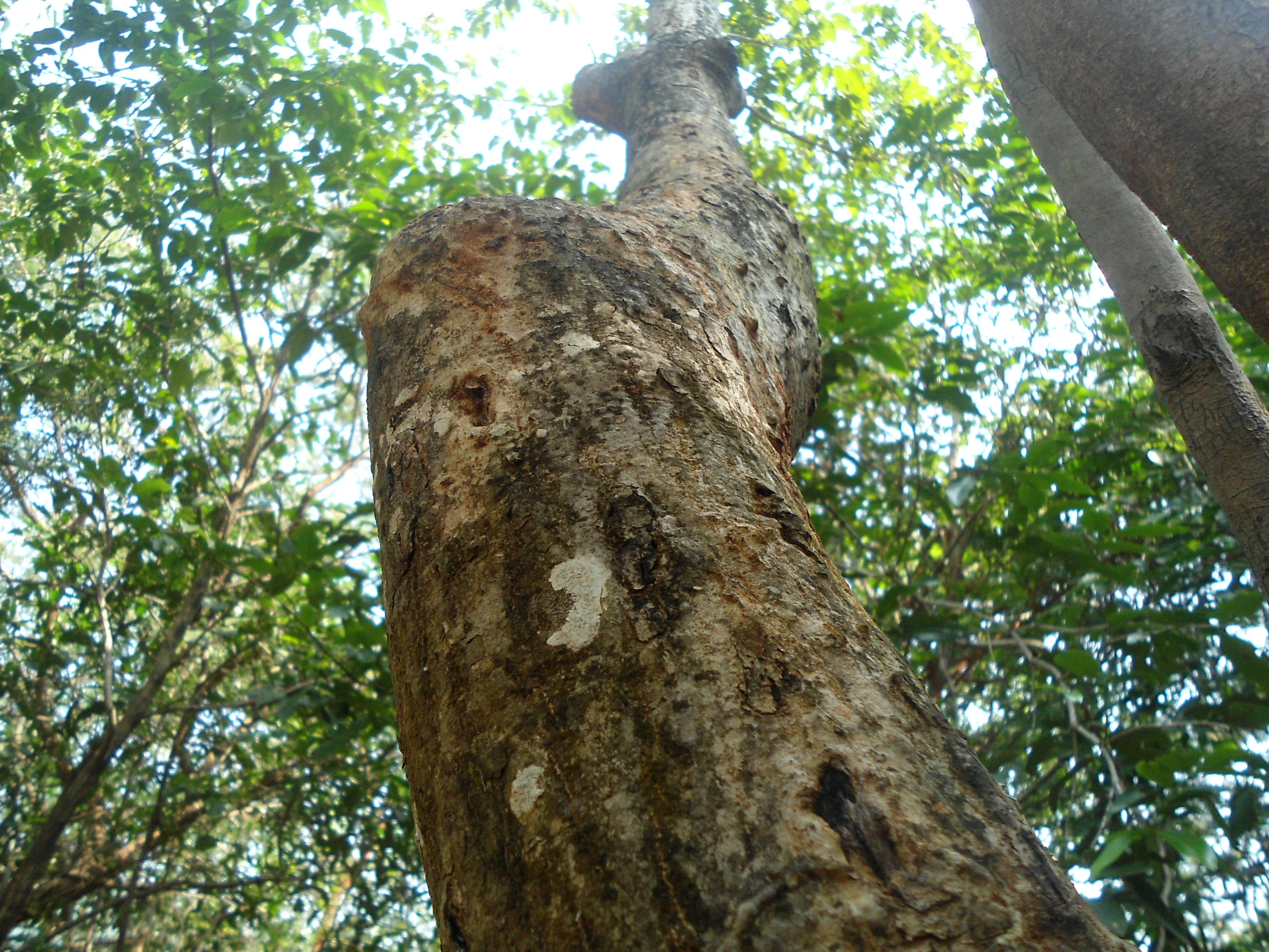 File:Lannea coromandelica tree bark at Kambalakonda 04.JPG ...