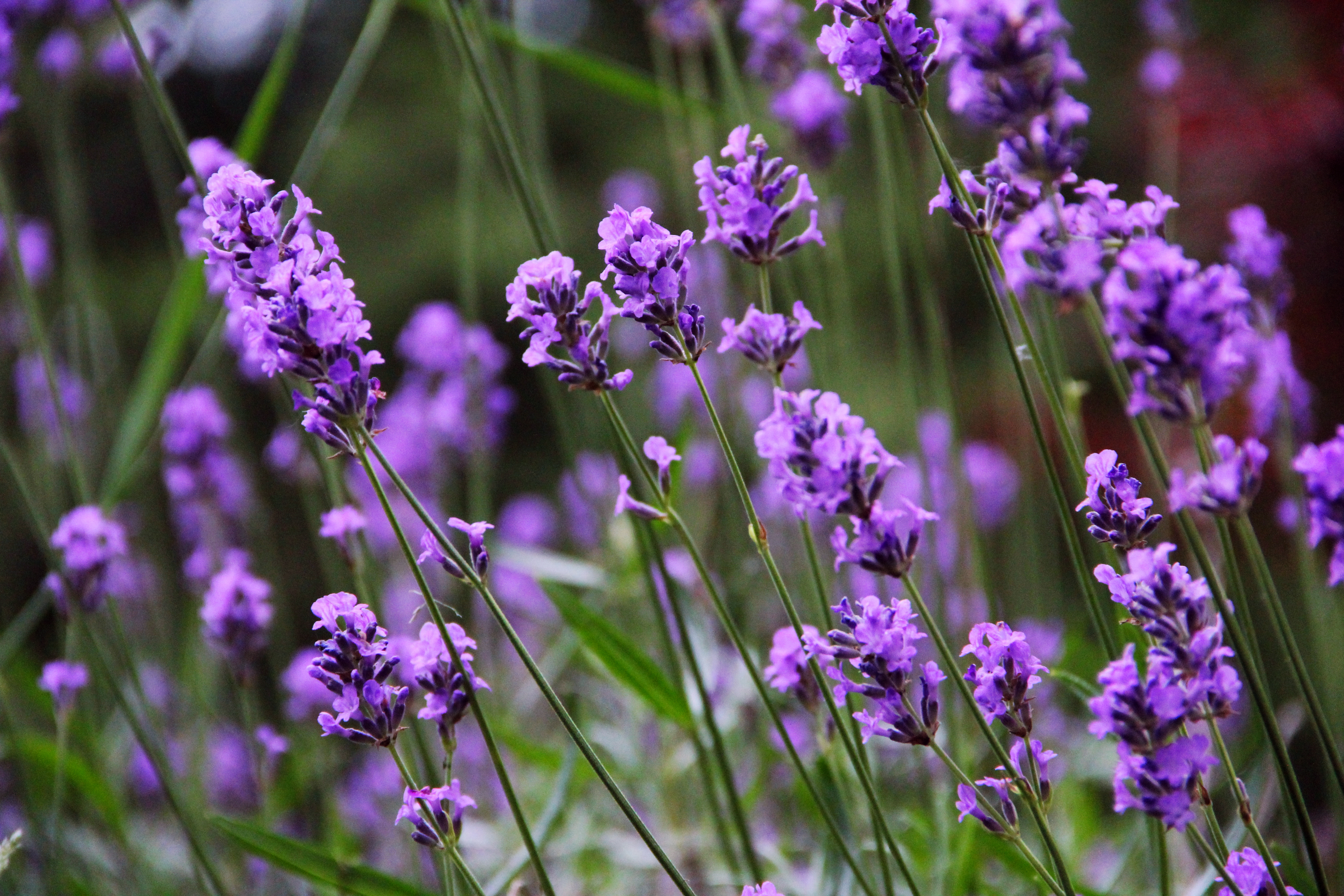 File Lavender 7 JPG - ...