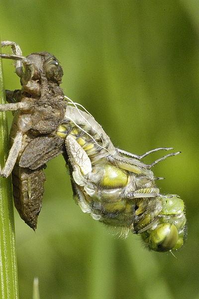 Premena vážky