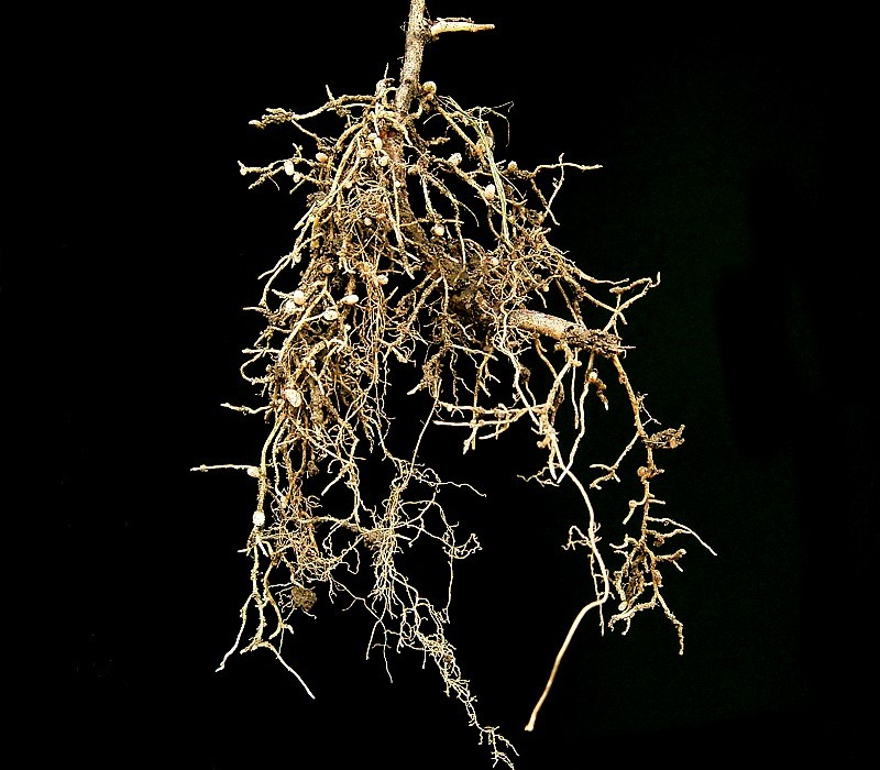 mutualistic relationship fungi and root hairs on a plant