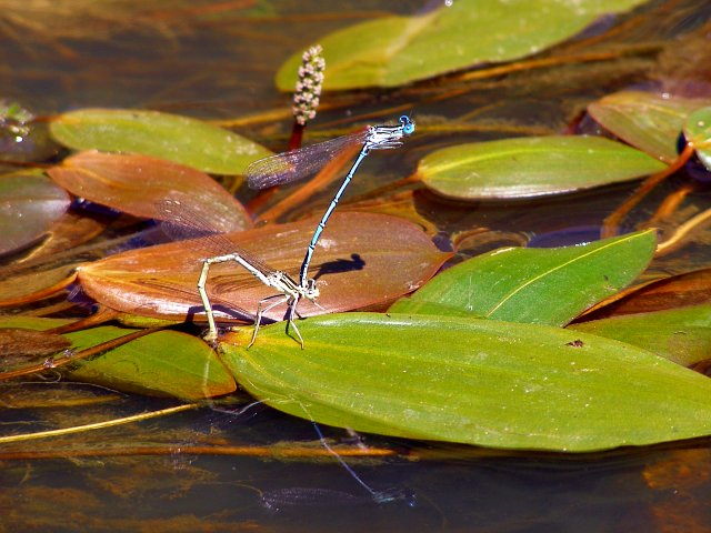 Mating damselflies, Ober Water, New Forest - geograph.org.uk - 191107