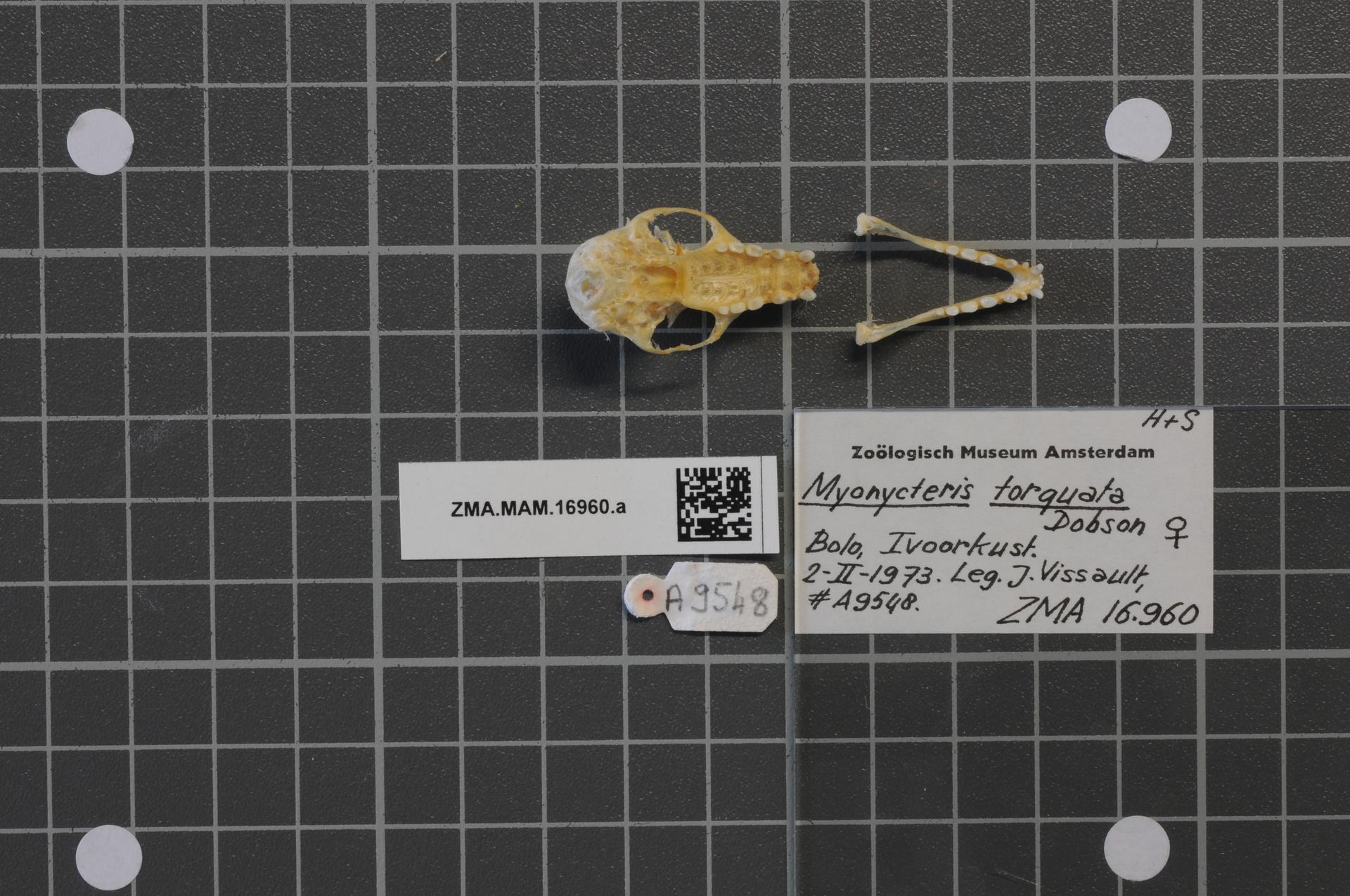 File:Naturalis Biodiversity Center - ZMA.MAM.16960.a pal - Myonycteris