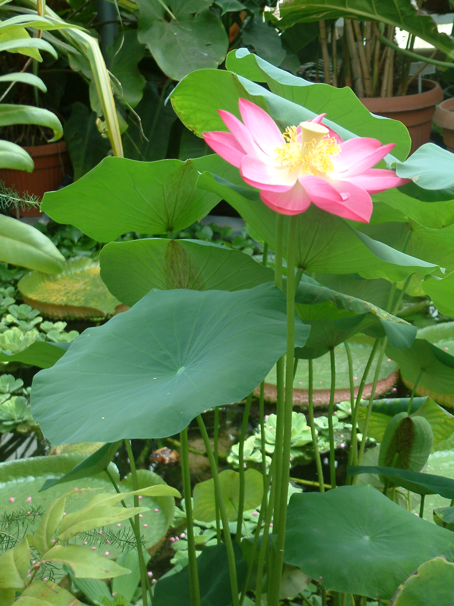 File nelumbo nucifera rb3 jpg wikimedia commons for Lotus plant for sale
