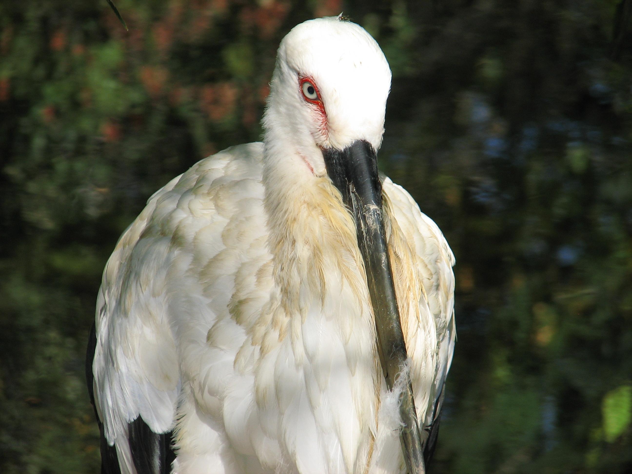 Oriental White Storks Photo