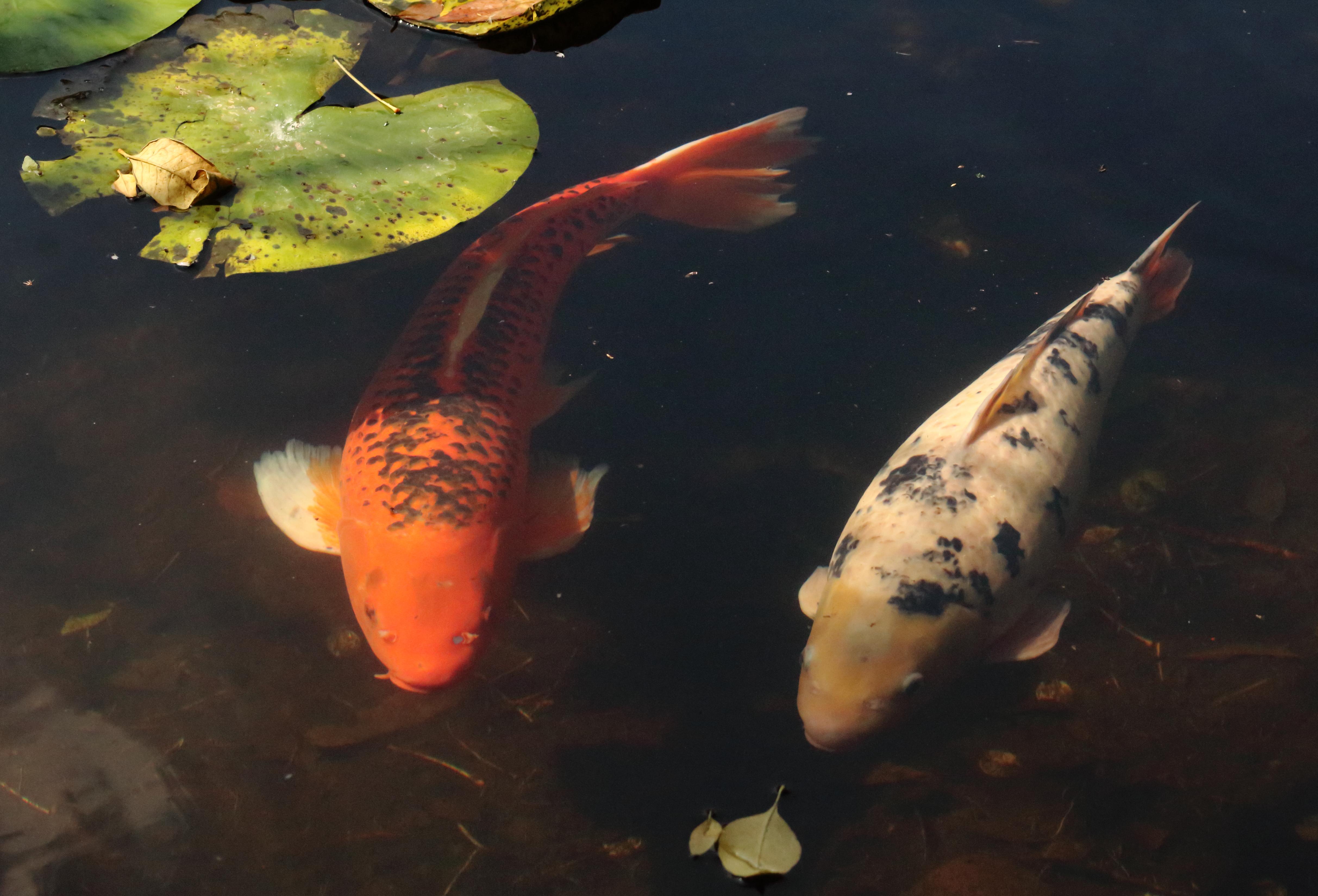 File peces en el jard n bot nico de la unam jpg for Jardin botanico unam 2015