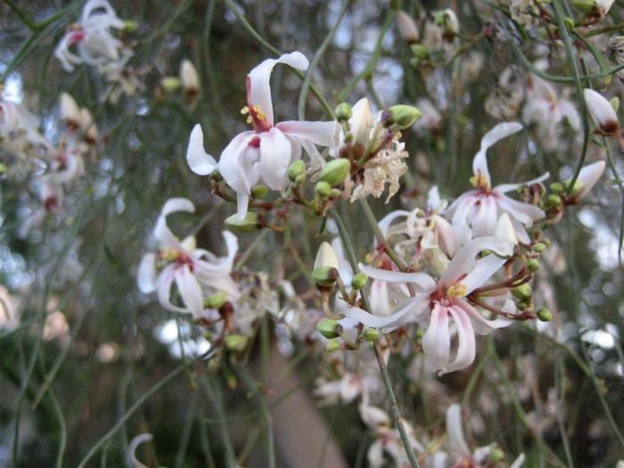 Moringa Peregrina Wikipedia