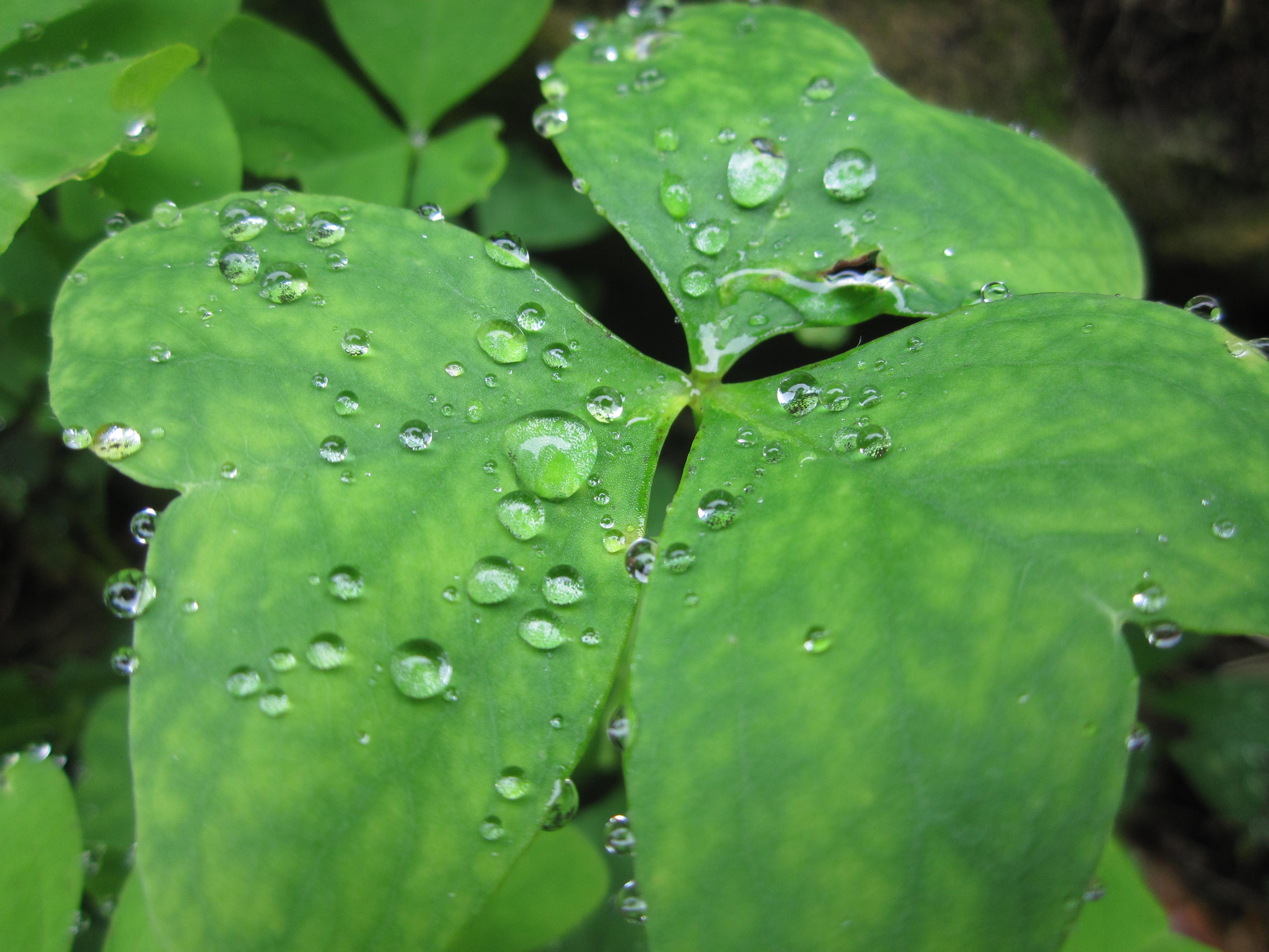 File planta con wikimedia commons for Plantas para estanques de agua fria
