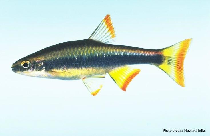Pteronotropis signipinnis.jpg