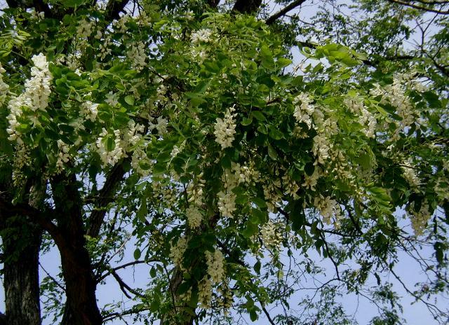 Ag t biely wikip dia for Acacia albero