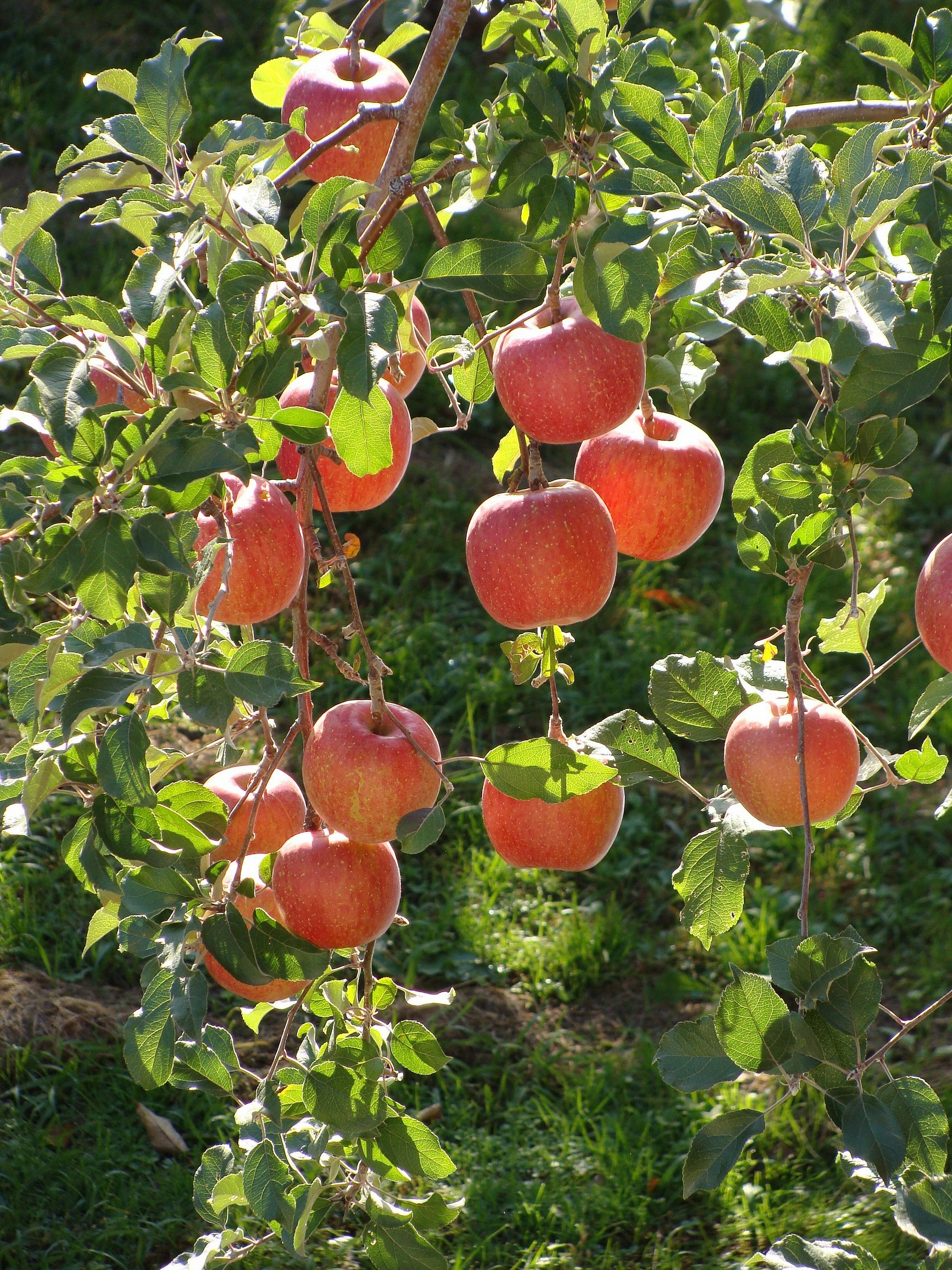 Pictures Of Fuji Apple Trees In State Of Texas 53