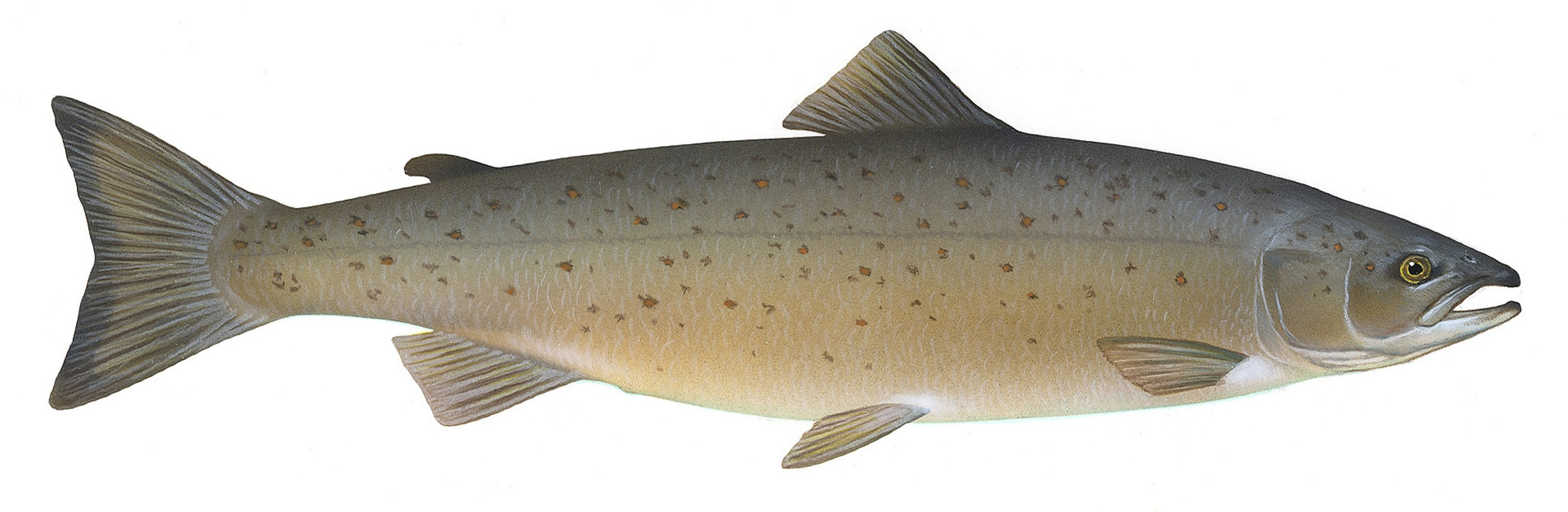 File salmo salar wikipedia for Salmon fish images