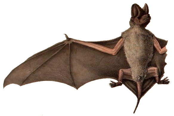 The average litter size of a Little free-tailed bat is 1
