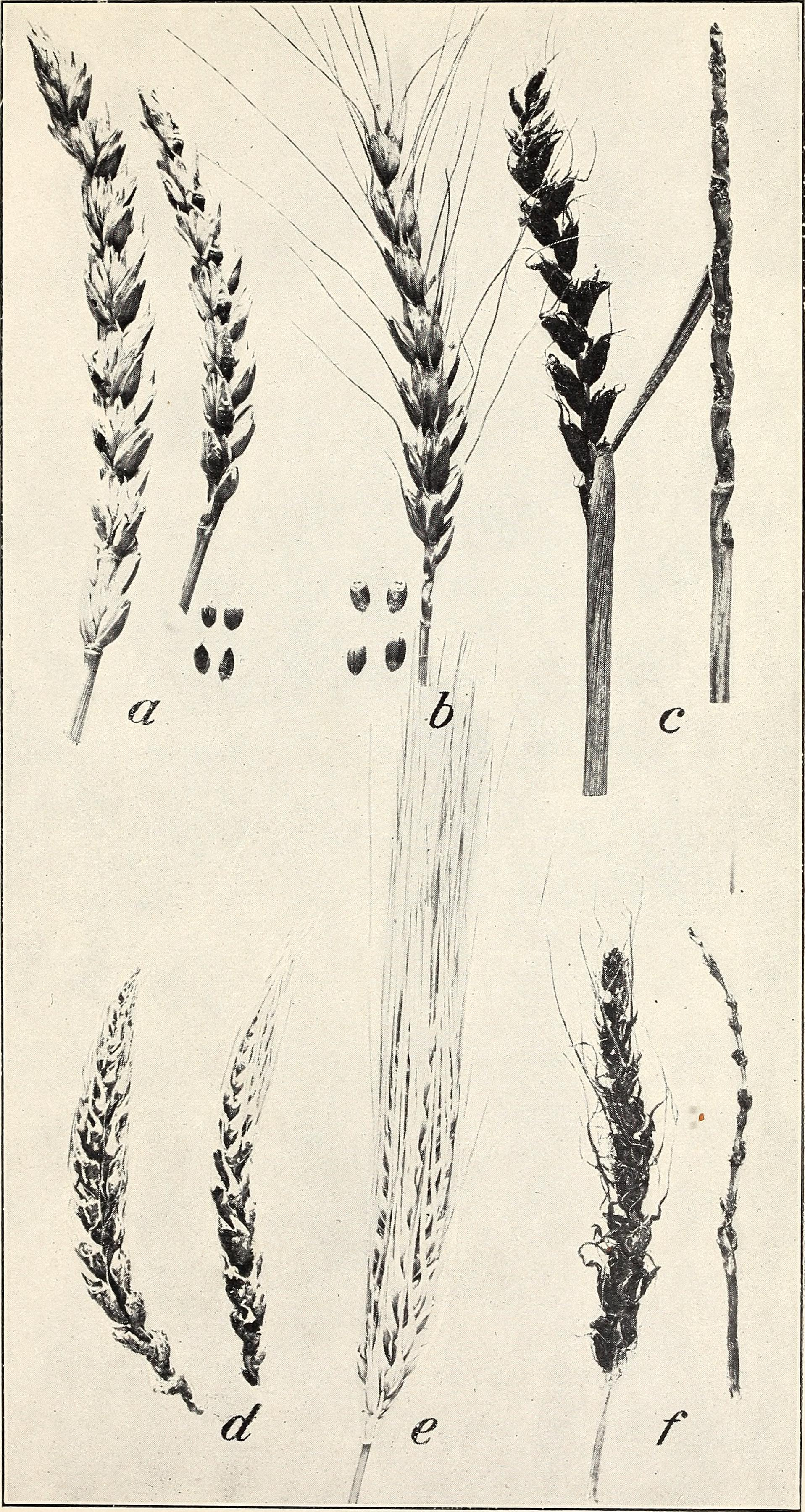 File:The loose smuts of barley and wheat (1909) (14587298687) jpg