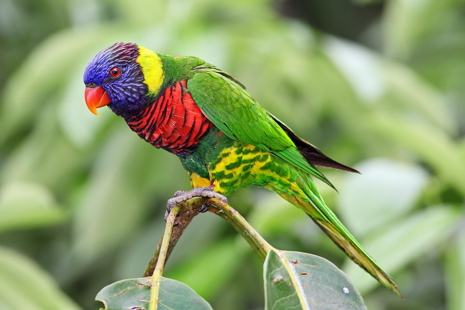 Rainbow lorikeet - Wikipedia