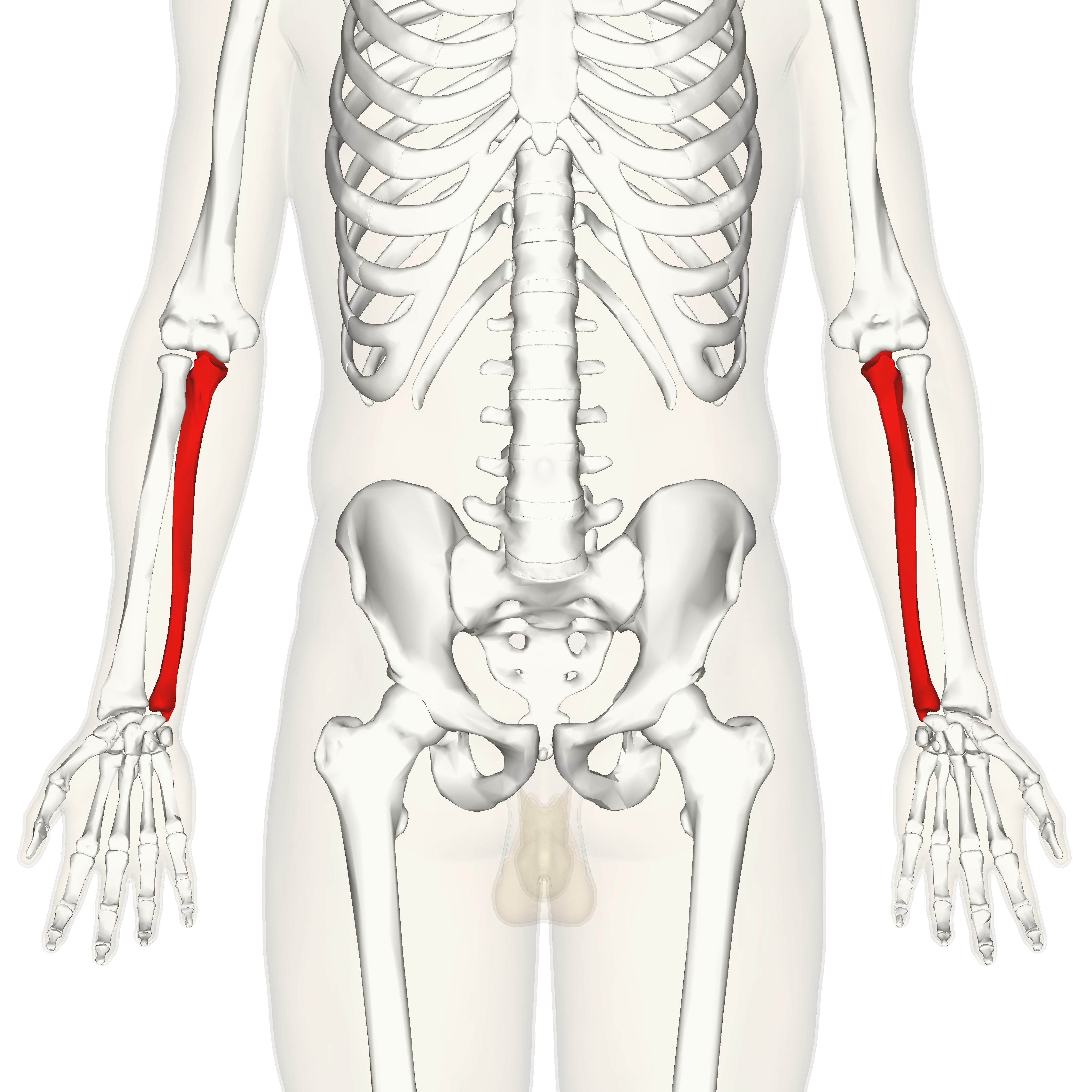 Anterior definition anatomy