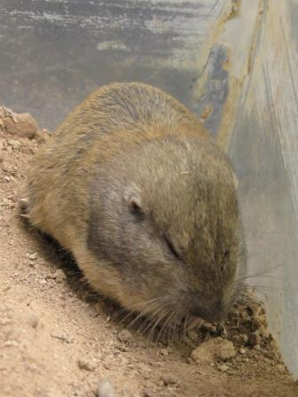 The average litter size of a Wyoming pocket gopher is 6