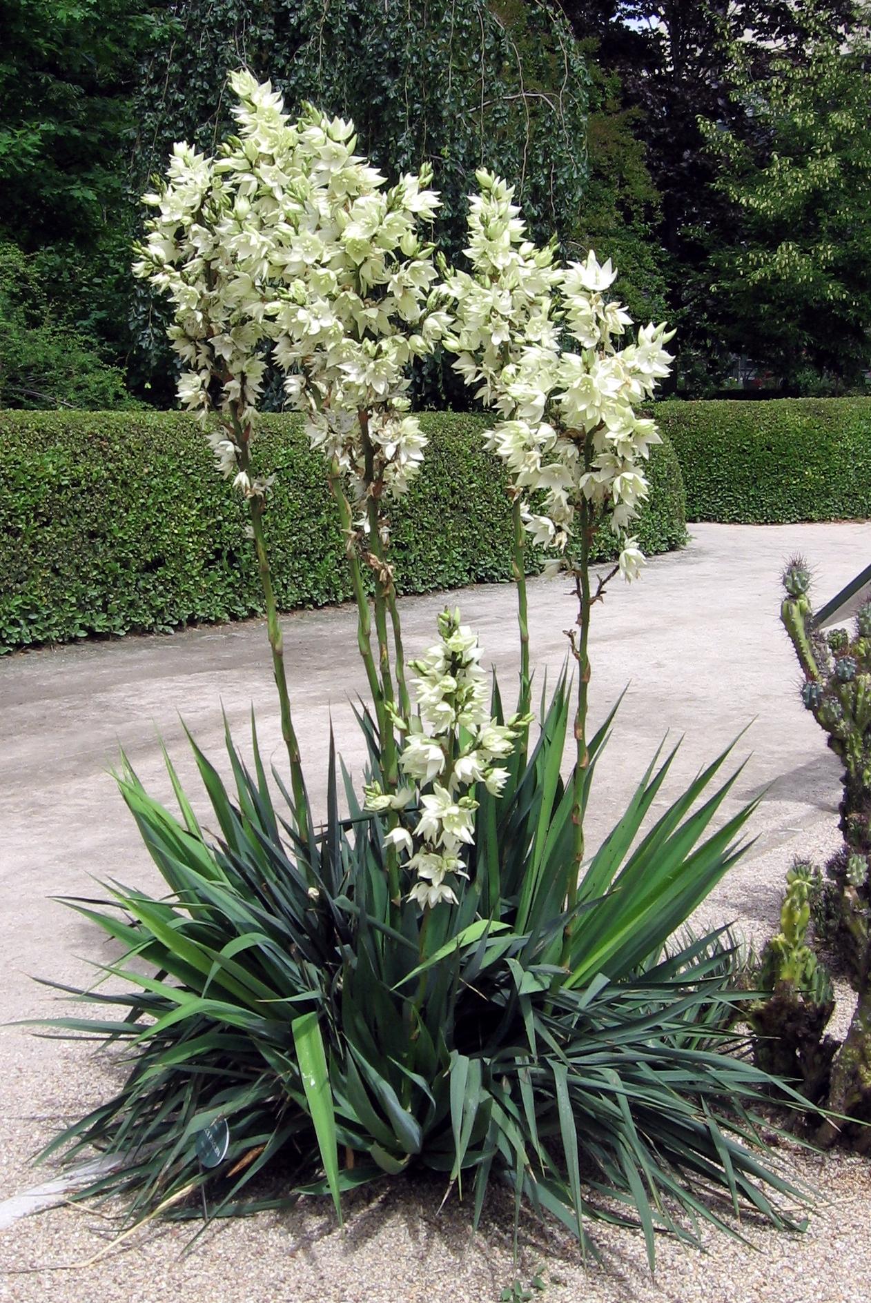 File Yucca flaccida