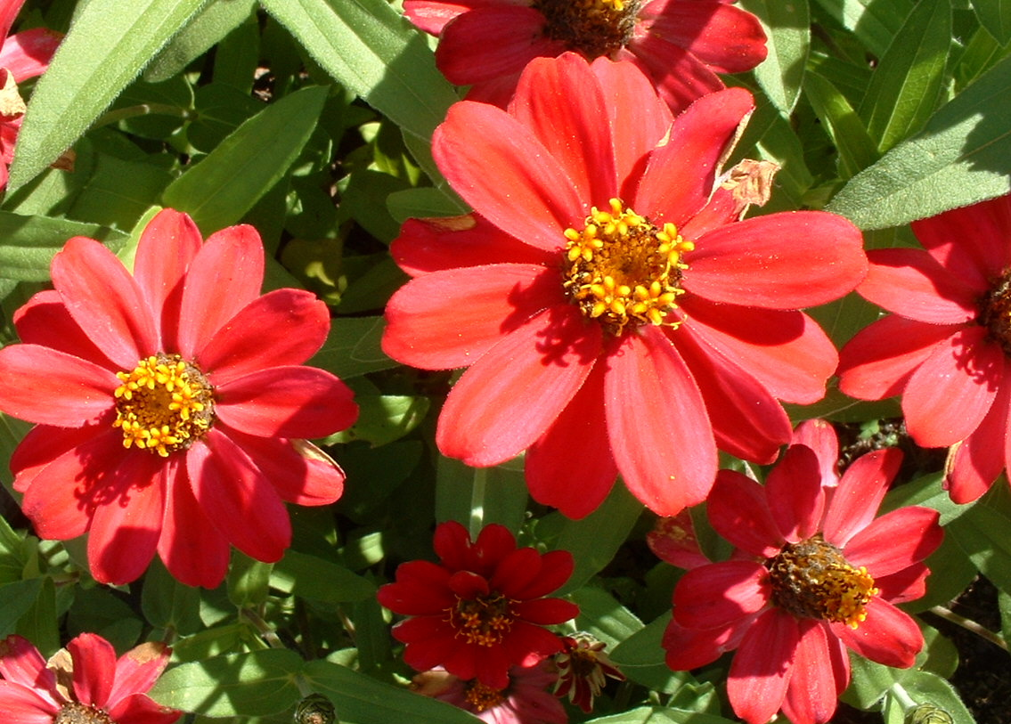 File:Zinnia close up.jpg