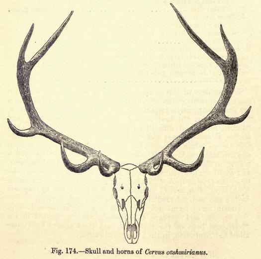 1. antlers cashmirianus