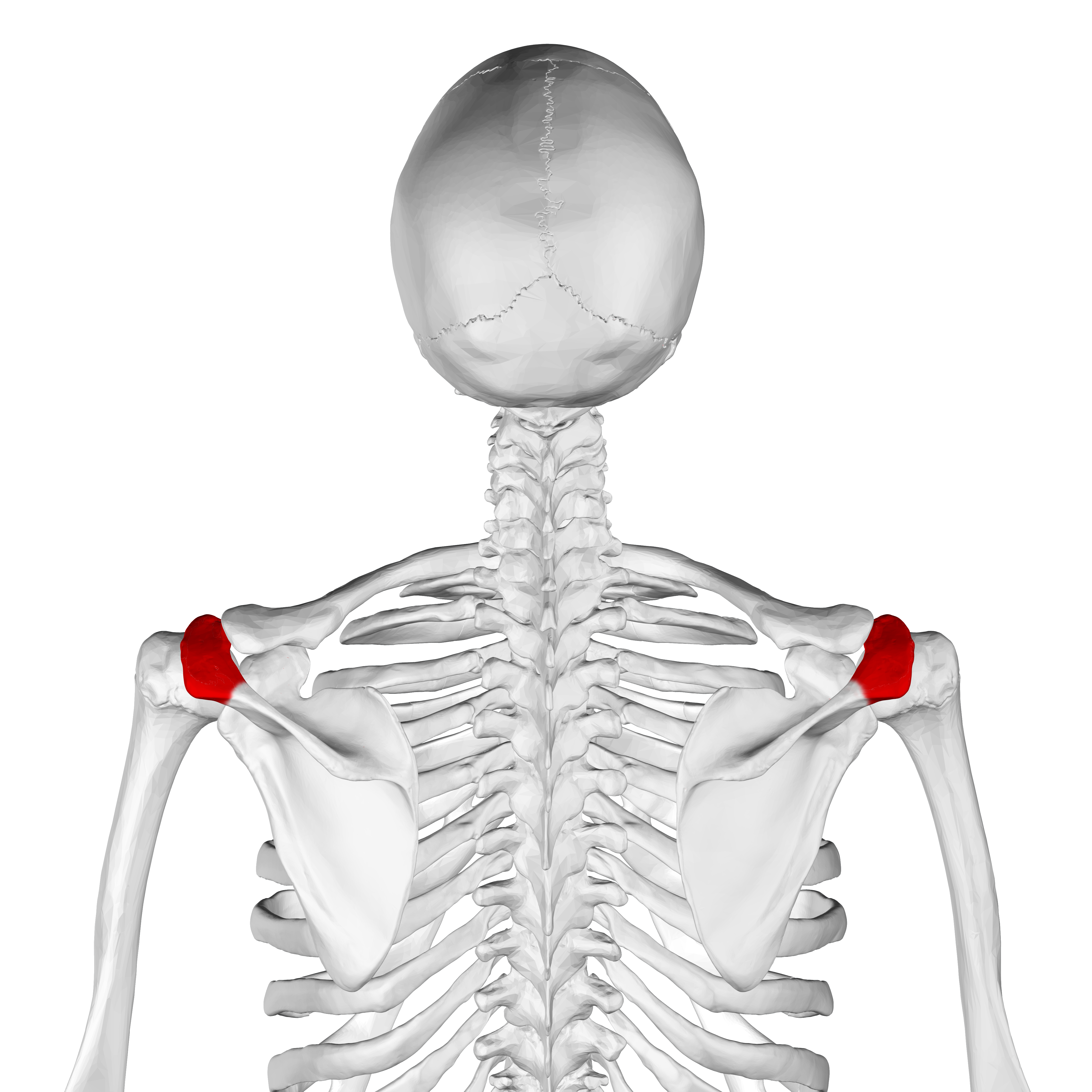 Scapula Spine Coracoid Process Acromion Glenoid Cavit
