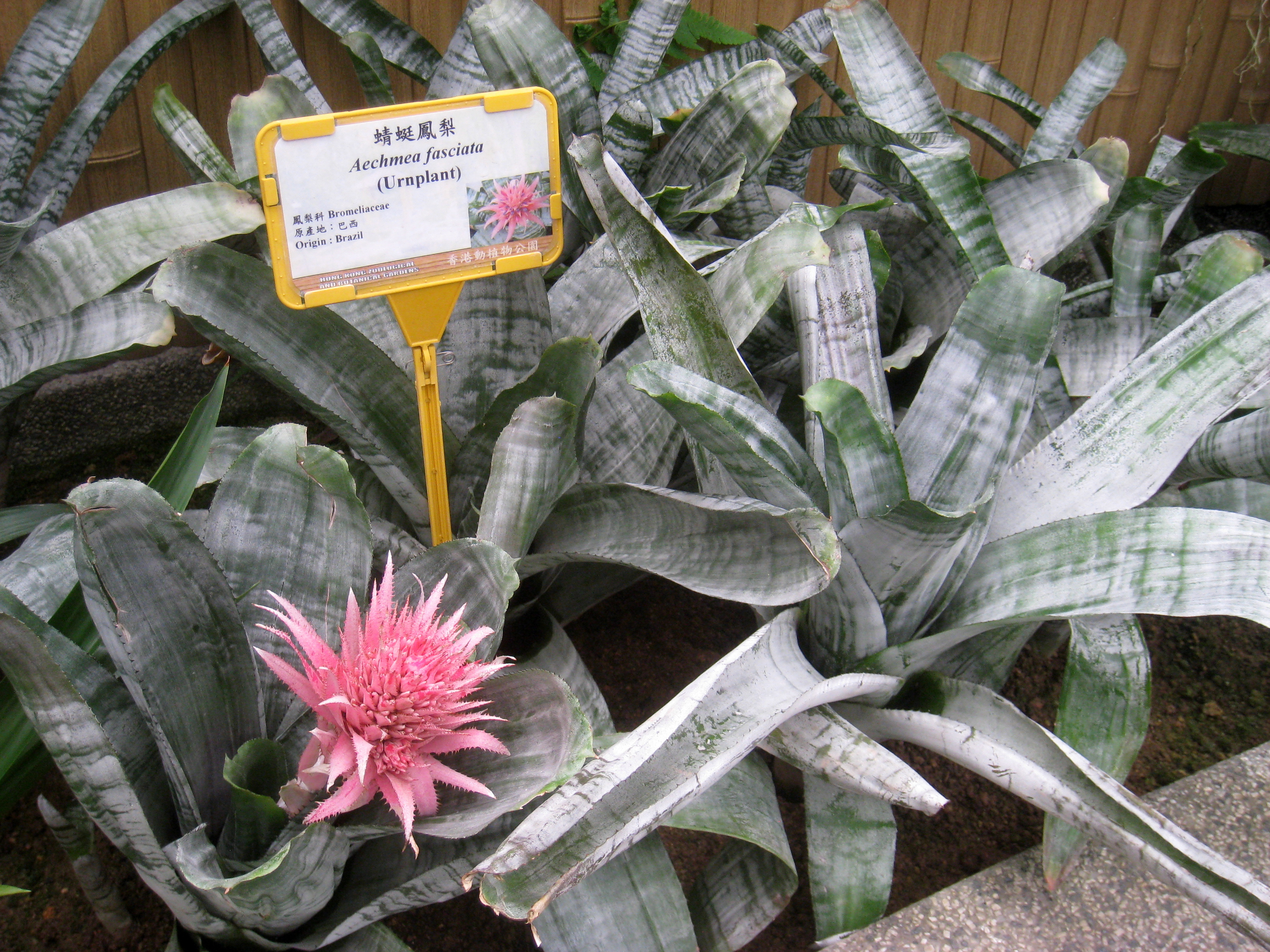 File aechmea fasciata hong kong botanical garden img for Aechmea fasciata