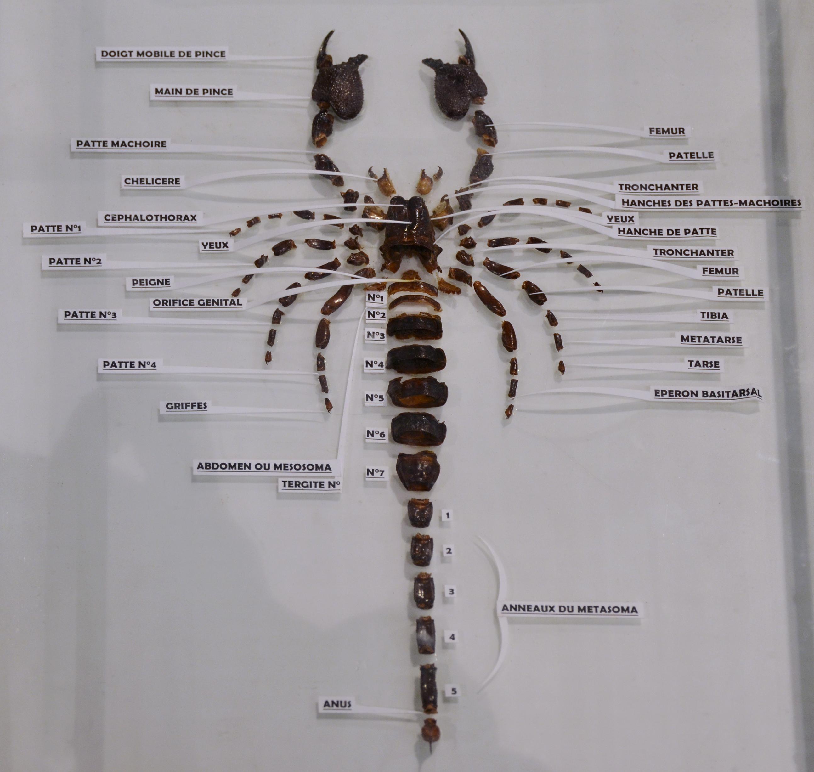 File:Anatomie du scorpion Pandinus imperator 07042016.jpg ...