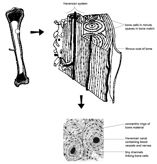 Anatomy and physiology of animals Haversian system compact bone.jpg