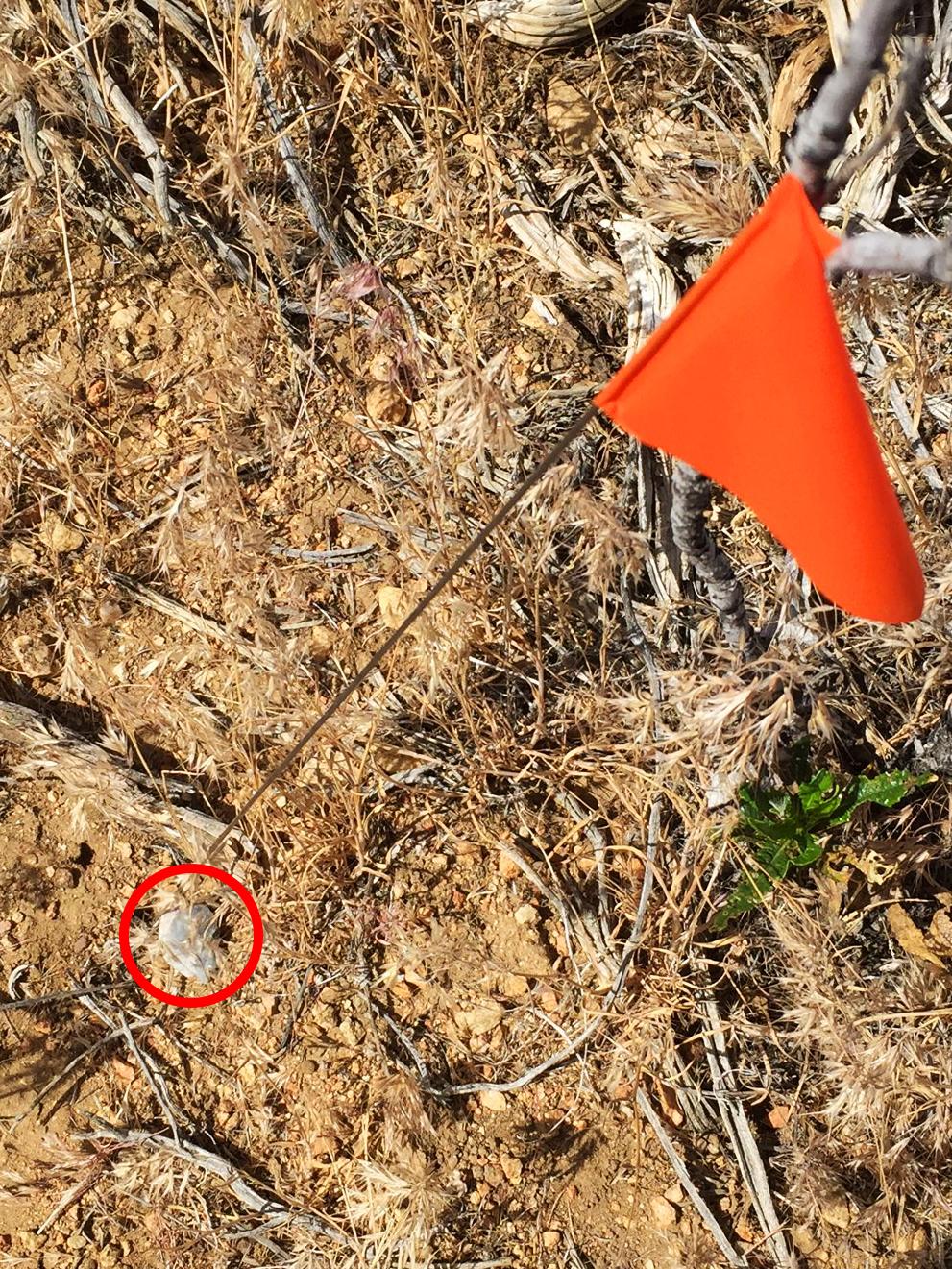 Identification d'un vestige archéologique (un silex) lors d'une prospection par le Forest Service archaeologists de Californie (USA) dans les montagnes San Gabriel