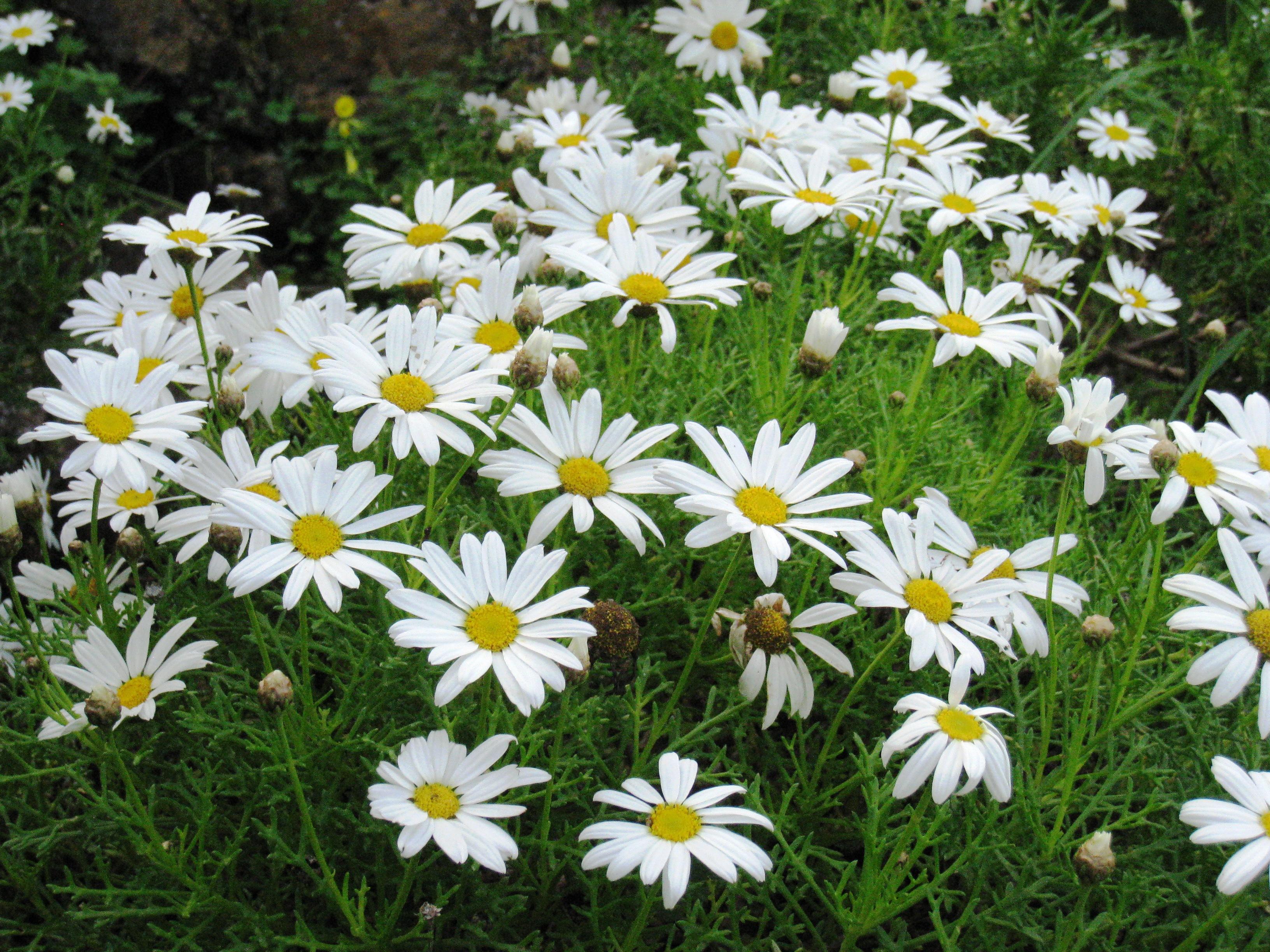 File Argyranthemum Frutescens Subsp Canariae Jpg