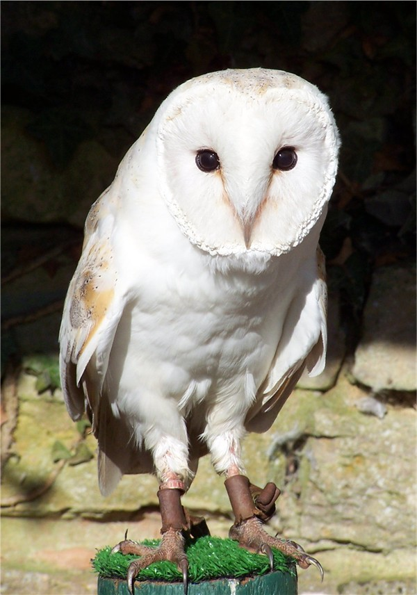 https://upload.wikimedia.org/wikipedia/commons/c/c1/Barn_owl.jpg