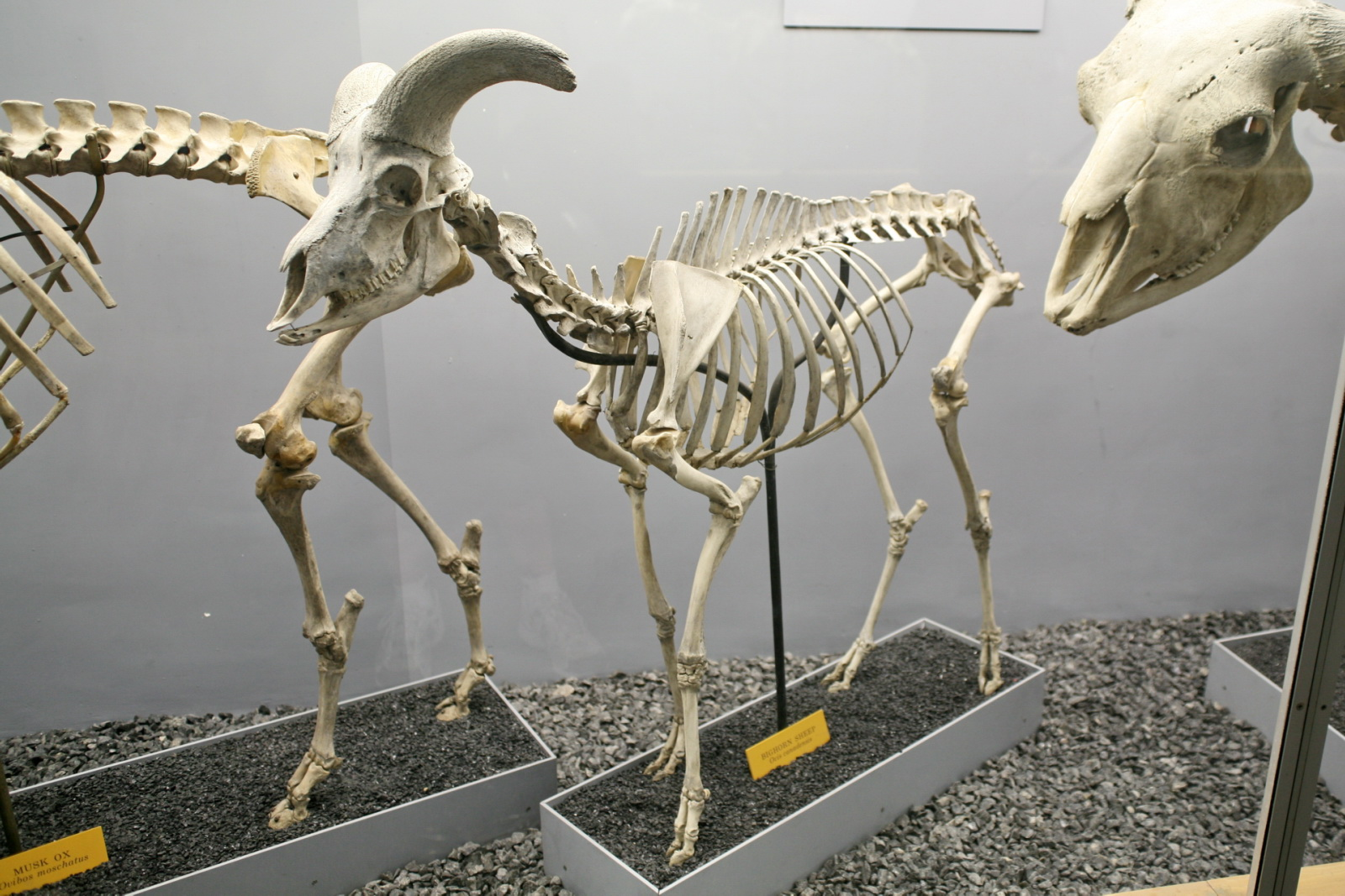 Sheep anatomy skeleton
